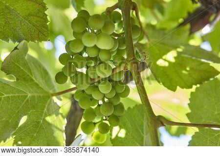 Bunch Of Grapes Detail In Ribeira Sacra. Galicia, Spain