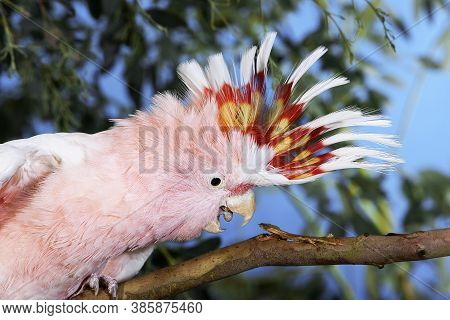 Salmon-crested Cockatoo Or Moluccan Cockatoo, Cacatua Moluccensis, Adult