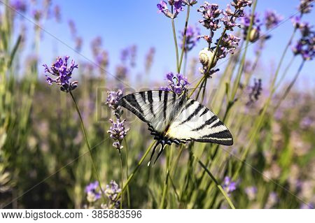 Large Butterfly Sailboat With White Wings With Black Stripes On A Lavender Flower In A Field On A Su