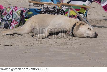 A Yellow Lab Sleeps In The Sunshine At The Beach In Emerald Isle,north Carolina