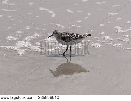 A Sand Plover Searches For A Meal In The Waters Of The Beach At Emerald Isle,north Carolina