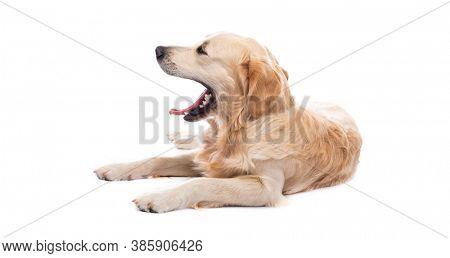 Yawning golden retriever dog lying sideways isolated on white background