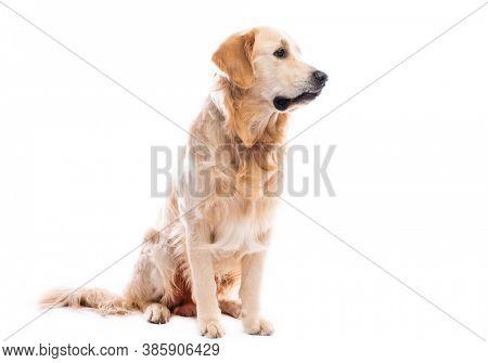 Golden retriever dog sitting looking sideways isolated on white background