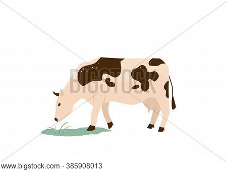 Spotted Black And White Cow Eat Green Grass Vector Illustration. Isolated On White Background. Dairy