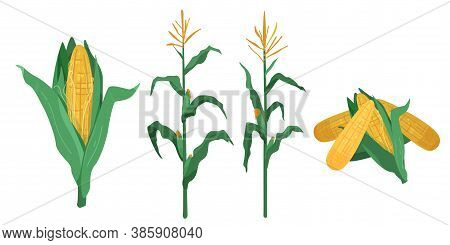 Corn Vector Illustration In Flat Cartoon Style. Maize Cob Heap, Plants Isolated On White Background.