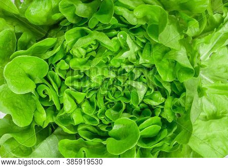 Lettuce Close-up. Fresh Organic Salad Leaves. Vegetables. Proper Healthy Dietary Nutrition. Vegetari