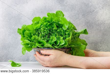 Lettuce. In Women's Hands Is A Bowl With Fresh Organic Salad Leaves. Vegetables. Proper Healthy Diet