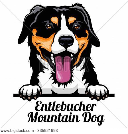 Head Entlebucher Mountain Dog - Dog Breed. Color Image Of A Dogs Head Isolated On A White Background