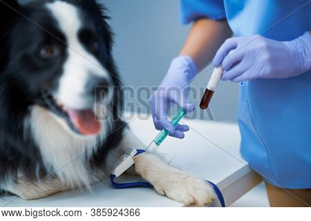 Female vet taking blood sample and examining a dog in clinic