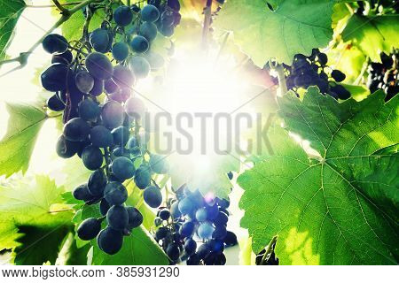 Natural Background, A Bunch Of Blue Grapes With Green Leaves And Bright Highlights In The Middle Of