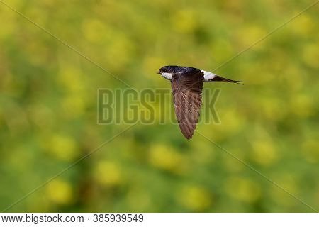 Common House-martin - Delichon Urbicum Black And White Flying Bird Eating And Hunting Insects, Also