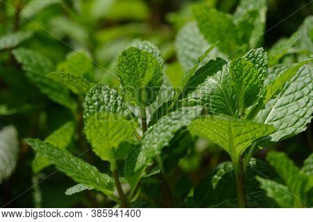 Close Up View Of Fresh Peppermint Leaves. It Is A Hybrid Mint, A Cross Between Watermint And Spearmi