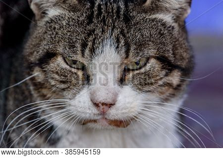 A White Spotted Street Cat. Cat, Walk, Street. White-gray Cat.