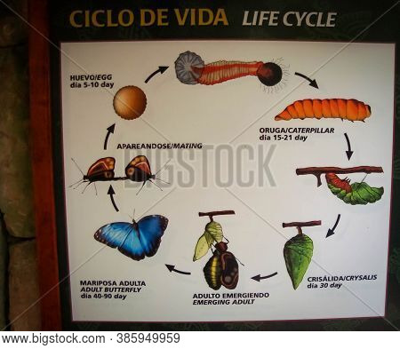 Life Circle Of A Blue Butterfly. Ciclo De Vida