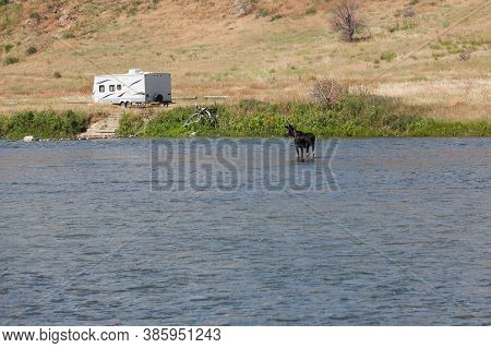 A Bull Moose Standing In The Shallow Water Of The Madison River In Montana Looking At A Camp Trailer