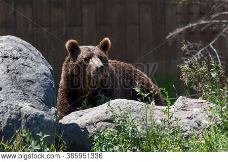 An Adult Grizzly Bear Standing Behind A Large Boulder And Looking Into The Distance At Its Sanctuary