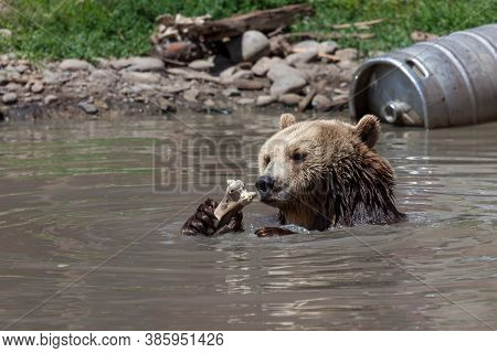 An Older Grizzly Bear Holding A Large Bone Up To Its Face And Sitting In A Shallow Pond On A Hot Sum