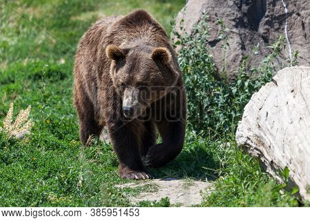 A Large Brown Grizzly Bear Walking Over Green Grass And Weeds Next To A Large Boulder And An Old Log