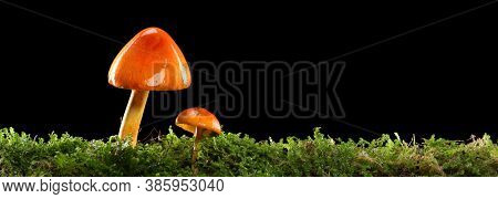 Two orange and yellow mushrooms on wet and humid green mossy forest floor. Isolated on black.