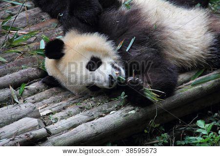 Lazy Giant Panda