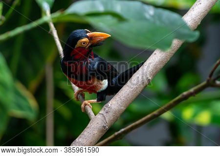 A Bearded Barbet (lybius Dubius) Or An African Barbet Perched In Rainforest Tree Looking Around. Rel