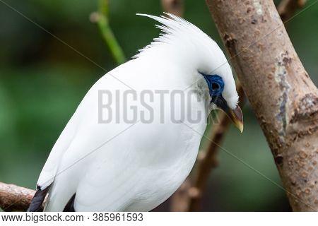 The White Bali Myna (leucopsar Rothschildi) , Also Known As Rothschild's Mynah, Bali Starling, Or Ba