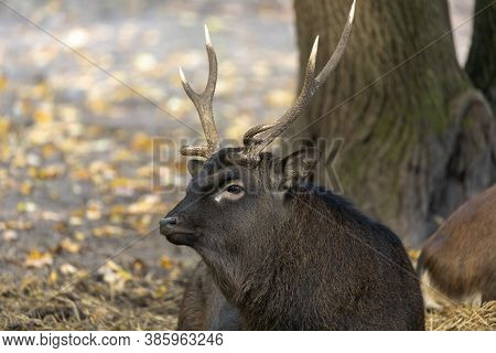 The Sika Deer (cervus Nippon) Also Known As  The Japanese Deer.