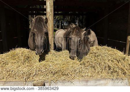 The Descendants Of The Wild Horse Tarpan, (equus Ferus Ferus), Also Known As Eurasian Wild Horse. Re