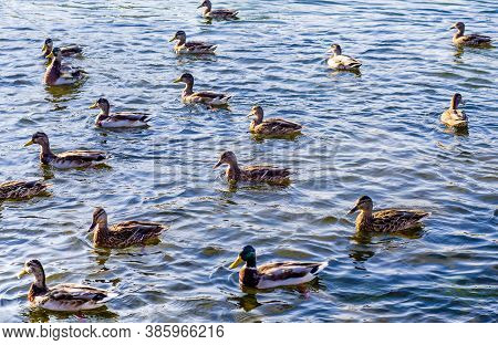 A Flock Of Wild Ducks Swim On The Surface Of The Reservoir. Waterfowl In Their Natural Habitat.