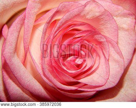 Close Up Of Rose Flower. Pink Rose, Red Rose, Rose Background, Rose In Nature, Rose Images, Portrait