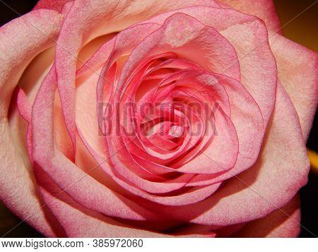 Rose Flower. Pink Rose, Red Rose, Rose Background, Rose In Nature, Rose Images,floral Photo .