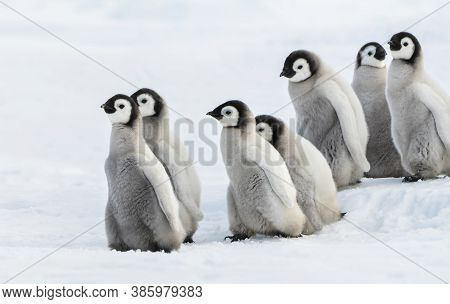 Six Emperor Chick,  Six Emperor Chiks penguins in the snow.