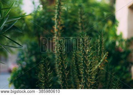 Big And Long Green Cactus With Selective Focus And Blurred Background. Tropical Plans. Cactus Plant