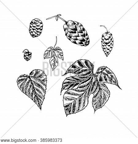 Hop Plant Sketch. Art Design Element Monochrome Stock Vector Illustration For Product Design, For Pa