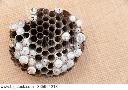 Wasp Nest With Larva Isolated On Jute Background - Asian Giant Hornet Or Japanese Giant Hornet (vesp