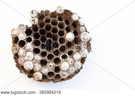 Wasp Nest With Larvae Isolated On White Background - Asian Giant Hornet Or Japanese Giant Hornet (ve