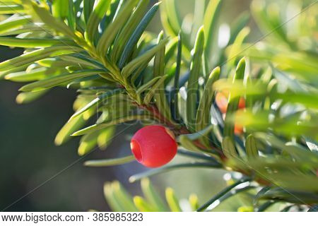 Beautiful Sprig Of Yew With One Bright Red Berry And Long Narrow Leaves Closeup On Blurred Floral Ba