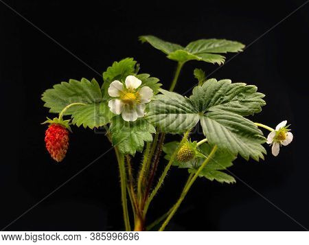 Strawberry Bush With Flowers And Berries On A Black Isolated Background. Backlight. Copy Space. Agri