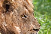 Lion male portrait closeup staring mane fierce poster