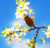 brown beetle on branch blooming fruit tree. Close up poster