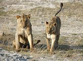 A pair of lions in Amboseli National Park Kenya poster