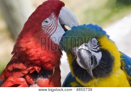 Grooming Green Wing Macaw and Blue Gold Macaw Close Up Looking at You Different Species Enjoying Themselves Macaws are social animals and they like a lot of attention. poster