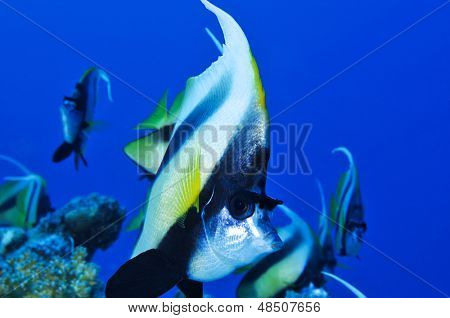 School of Red Sea bannerfish, Heniochus intermedius, with space for your text