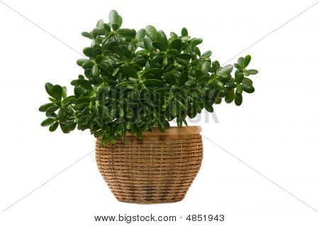 Money Tree In Pot