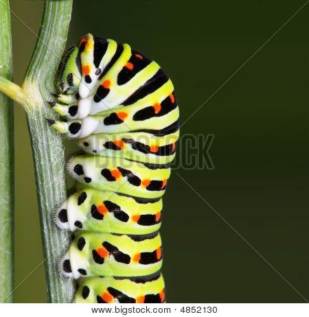 Caterpillar - Lepidoptera