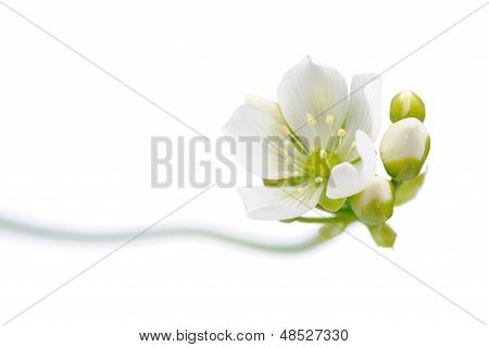 Venus Flytrap Flower With Buds On White Background