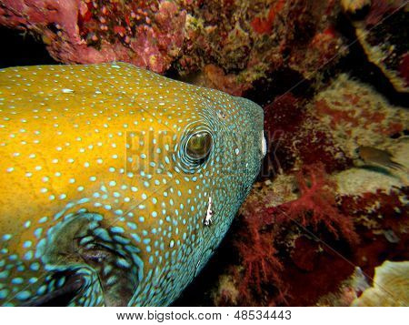 Yellow Puffer Fish