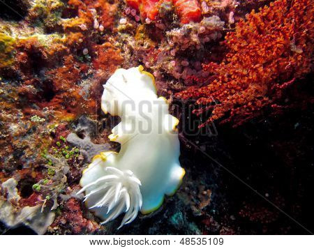 Pacific Nudibranch