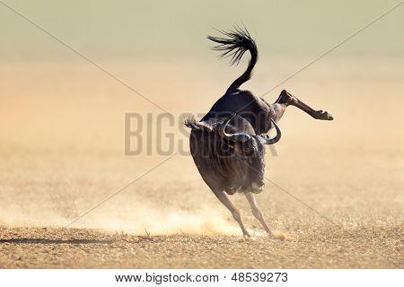 Blue wildebeest jumping playfully around - Kalahari desert - South Africa