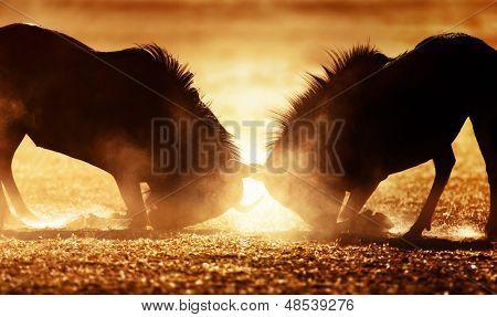 Streifengnu dual in Staub - Kalahari-Wüste - Südafrika